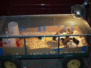 Our babies--note that this is a garden wagon with one of our handy dandy panels as a lid